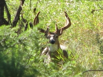 Whitetail buck at Eden Valley