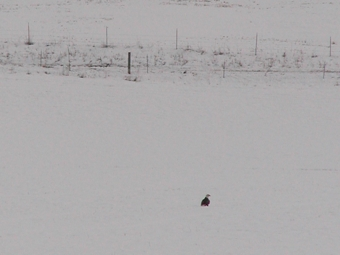 Bald Eagles migrate early and sometimes find a lot of snow.
