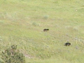 Black Bear Cubs in Eden Valley, WA USA