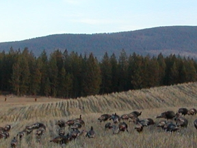 Wild Turkeys in Okanogan Highland Field.